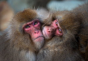Japanese macaques (Macaca fuscata) huddling together to keep warm, Jigokudani, Nagano, Japan. - Wim van den Heever