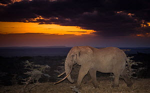 African elephant (Loxodonta africana) huge bull called One Ton at sunset, one of few remaining big tuskers left in the wild, Ol'Donyo Kenya.  -  Wim van den Heever