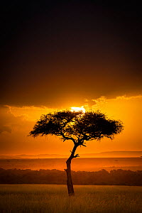 Sunset over savanna landscape image with a lone (Acacia) tree, Masai Mara NR, Kenya  -  Wim van den Heever