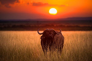 African buffalo (Syncerus caffer) lone bull set in a landscape with beautiful sunset, Masai Mara NR, Kenya  -  Wim van den Heever