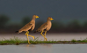 African wattled lapwing (Vanellus senegallus) two on water edge, Zimanga Private Game Reserve, South Africa.  -  Wim van den Heever