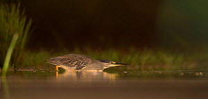 Green backed / Striated heron (Butorides striata) hunting low across water, Zimanga Private Game Reserve, South Africa. - Wim van den Heever