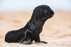 South African fur seal (Arctocephalus pusillus pusillus) pup on beach at Walvis Bay Namibia.  -  Wim van den Heever