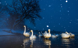 Whooper swans (Cygnus cygnus) early evening in a snow storm, Lake Kussharo, Hokkaido, Japan. Taken with remote camera.  -  Wim van den Heever