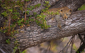 Leopard (Panthera pardus) cub lying in a tree, Greater Kruger National Park, South Africa.  -  Wim van den Heever