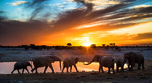 African elephants (Loxodonta africana) small herd at waterhole at sunset, Etosha National Park, Namibia - Wim van den Heever