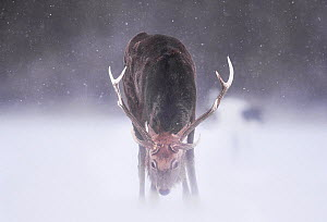 Sika deer (Cervus nippon) huge stag feeding in open field in a snow storm, Hokkaido Japan.  -  Wim van den Heever