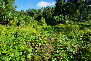 Abandonned logging road overgrown with  vines. Halmahera, North Moluccas, Indonesia. - Tim  Laman