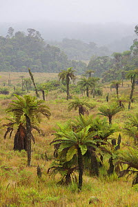 Tree ferns (Dicksonia) and alpine grassland at Tari Gap, Papua New Guinea.  -  Tim  Laman