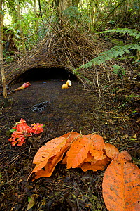 Bower of a Vogelkop Bowerbird (Amblyornis inornatus) in the montane rainforest of the Arfak Mountains, West Papua.  -  Tim  Laman