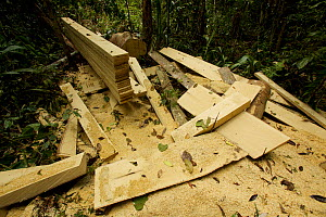 Timber sawn into planks in the rainforest with a chainsaw West Papua, August 2009. - Tim  Laman