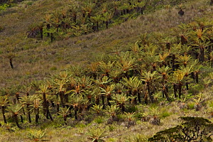 Alpine grasslands with tree ferns near Lake Habbema, Jayawijaya Mountains, Papua, Indonesia.  -  Tim  Laman