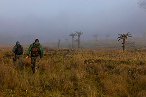 Bird of Paradise researcher Edwin Scholes and Indonesian guide Untu walk through morning fog toward a Tree fern (Dicksonia) forest by Lake Habbema, Jayawijaya Range, New Guinea June 2010.  -  Tim  Laman