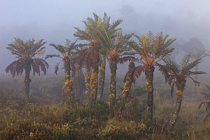 Tree Ferns (Dicksonia sp.) in the mist. New Guinea.  -  Tim  Laman