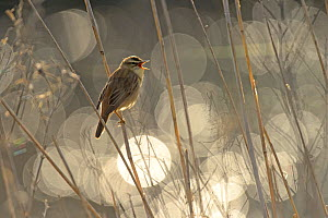 Sedge warbler (Acrocephalus schoenobaenus) singing with bokeh effect in background,Norfolk, England, UK, May. Winner of the Birds in Environment Category of the Bird Photographer of the Year 2015. - Chris Gomersall