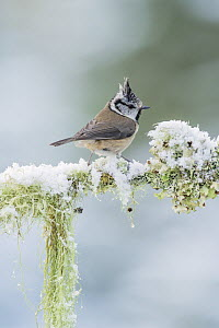 Crested tit (Lophophanes cristatus) resting on snow covered branch, Black Isle, Scotland, UK April - Terry  Whittaker