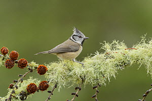 Crested tit (Lophophanes cristatus) Black Isle, Scotland, UK April - Terry  Whittaker