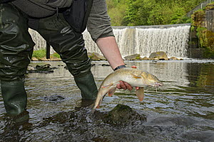Barbel (Barbus barbs) caught by angler and being released from urban river, Greater Manchester, UK May  -  Terry  Whittaker