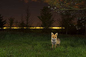 Red fox (Vulpes vulpes) adult at  night with train in background, Kent, UK. May  -  Terry  Whittaker