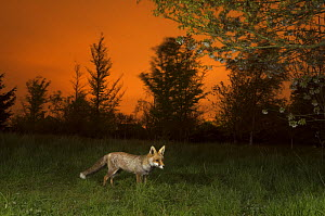 Red fox (Vulpes vulpes) in field at sunset, Kent, UK May  -  Terry  Whittaker