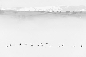 Pink-footed goose (Anser brachyrhynchus) flock flying in mist, Cromarty Firth, Highlands, Scotland, UK April - Terry  Whittaker
