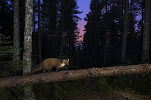 Pine marten (Martes martes) walking along fallen Pine (Pinus) branch at night, Black Isle, Scotland, UK. February taken by camera trap.  -  Terry  Whittaker