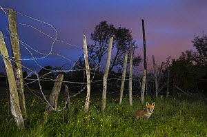 Red fox (Vulpes vulpes) 6 week old cub by fence on edge of railway embankment, Kent, UK May  -  Terry  Whittaker
