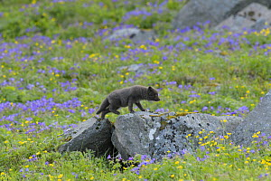 Arctic fox (Alopex lagopus) cub exploring away from the den amongst Geranium flowers (Geranium sylvaticum). Hornvik, Hornstrandir, Westfjords, Iceland. July  -  Terry  Whittaker
