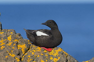 Black guillemot (Cepphus grylle) sitting on rock, Flatey Island, Breioafjorour, Iceland, July  -  Terry  Whittaker