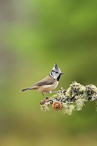 Crested tit (Lophophanes cristatus) on (Pinus sp) branch, Black Isle, Scotland, UK March - Terry  Whittaker