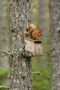 Red squirrel (Sciurus vulgaris) feeding on top of bird box, Black Isle, Scotland, UK. March - Terry  Whittaker