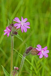Red Campion  (Silene dioica) Sutcliffe Park Nature Reserve, Eltham May  -  Rod Williams