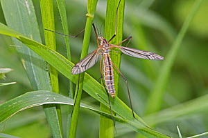 Cranefly (Tipula paludosa) female,  Brockley Cemetery, Lewisham, London. May. - Rod Williams
