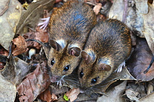Wood mice (Apodemus sylvaticus) two side by side, Dorset, UK April.  -  Colin Varndell