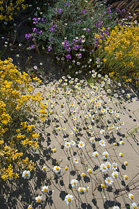 Sea chamomile (Anthemis maritima), Sea stock (Mattiola sinuata), and Shrubby Everlasting (Helichrysum stoechas) flowers in sand dunes, Camargue, France. May. - Jean E. Roche