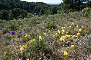 Crimean iris (Iris chamaeiris) flowering in garrigue habitat, Eyguieres, Alpilles, France. April. - Jean E. Roche