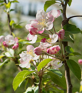 Apple (Malus pumila) blossom in organic orchard, Arles, Camargue, France, April.  -  Jean E. Roche