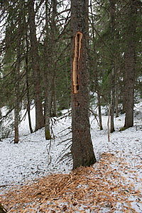 Spruce (Picea abies) wood on ground after Black woodpecker (Dryocopus martius) has been drilling trunk for prey. Jura Mountains, Switzerland, March  -  Jean E. Roche