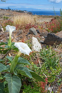 Thorn apple (Datura stramonium) growing on waste ground, La Gomera, Canary Islands.  -  Adrian Davies
