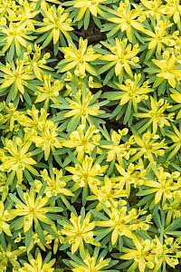 Berthelot's spurge (Euphorbia berthelotii) La Gomera, Canary Islands. Endemic to La Gomera.  -  Adrian Davies