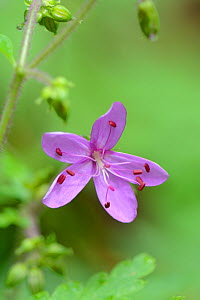 Canary Islands cranesbill (Geranium canariense) La Gomera, Canary Islands  -  Adrian Davies