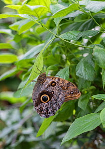 Owl butterfly (Caligo memnon) captive, occurs in  Central and South America.  -  Adrian Davies