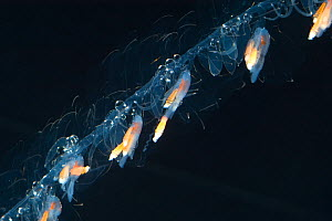 Siphonophore (Nanomia cara) close up of coiled tentacles, Gulf of Maine, Atlantic ocean. Epipelagic species found up to 300m depth.  -  David  Shale