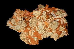 Leesburg Limestone Conglomerate from Frederick county Maryland, USA. Consists of fragments of lower Paleozoic limestone, dolomitic limestone, quartzite, quartz, schist, slate, and greenstone in a clay... - John Cancalosi