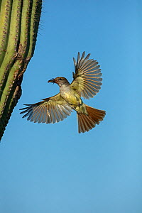 Ash-throated flycatcher (Myiarchus cinerascens) bringing food to nest in saguaro cactus, Sonoran Desert , Arizona, USA, July.  -  John Cancalosi