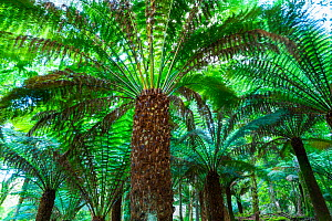 Arborescent ferns (Cyatheaceae) in Kells Bay Gardens, Ring of Kerry, Iveragh Peninsula, County Kerry, Ireland, Europe. September 2015.  -  Juan  Carlos Munoz