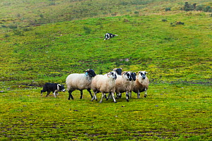 Sheepdog trials in Caitins, Kells Area, Ring of Kerry, Iveragh Peninsula, County Kerry, Ireland, Europe. September 2015.  -  Juan  Carlos Munoz