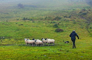 Famer herding sheep at sheepdog trial in Caitins, Kells Area, Ring of Kerry, Iveragh Peninsula, County Kerry, Ireland, Europe. September 2015.  -  Juan  Carlos Munoz