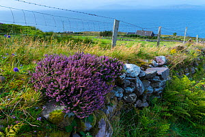 Purple heather (Calluna vulgaris) on coastal wall, Kells Seaside Area, Ring of Kerry, Iveragh Peninsula, County Kerry, Ireland, Europe. September 2015.  -  Juan  Carlos Munoz