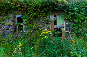 Abandoned cottage, Kells Seaside Area, Ring of Kerry, Iveragh Peninsula, County Kerry, Ireland, Europe. September 2015.  -  Juan  Carlos Munoz